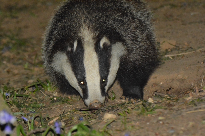 Badger 2.JPG