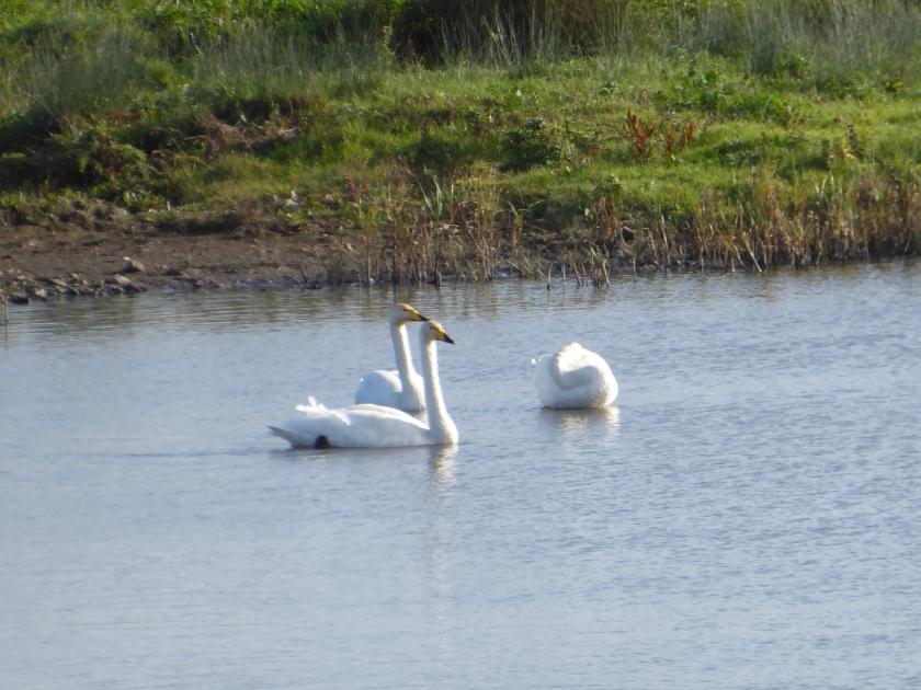 Bewick Swan 1