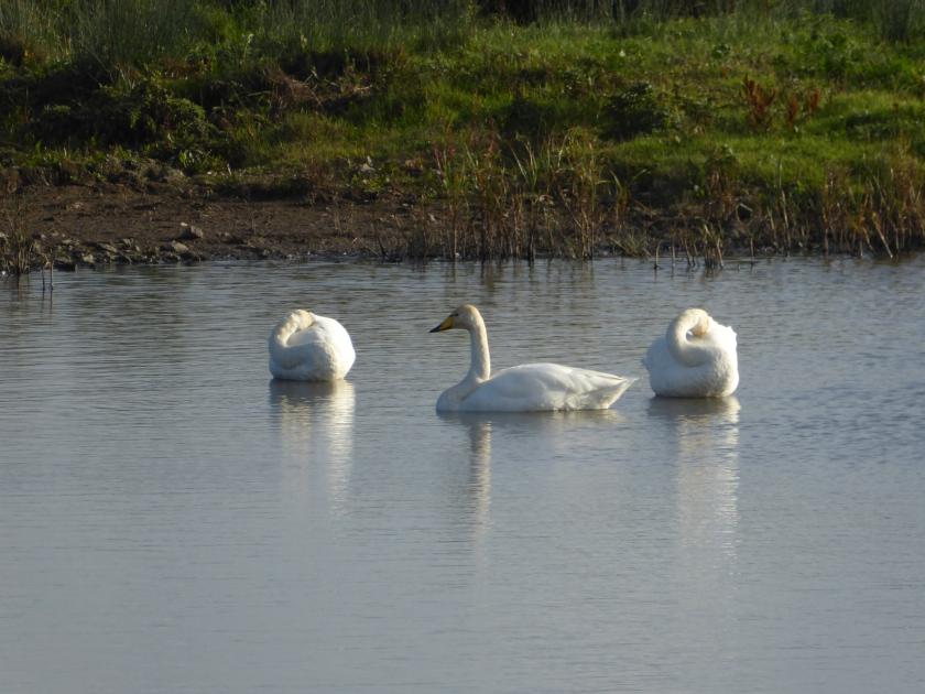 Bewick Swan 2