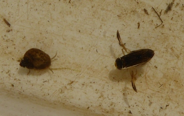 Snail Water Boatman