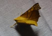 Dusky Thorn
