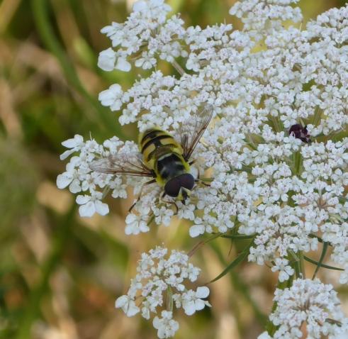 Hoverfly Myathropa Florea