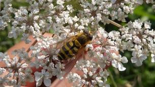 Hoverfly Syrphus Ribesii
