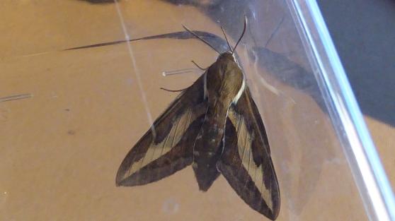Moth Bedstraw Hawkmoth