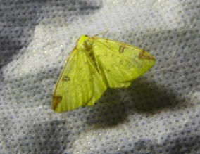 Moth Brimstone