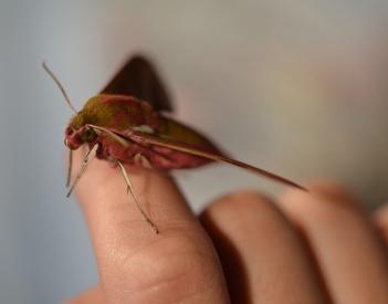 Moth Elelpant Hawkmoth-MR