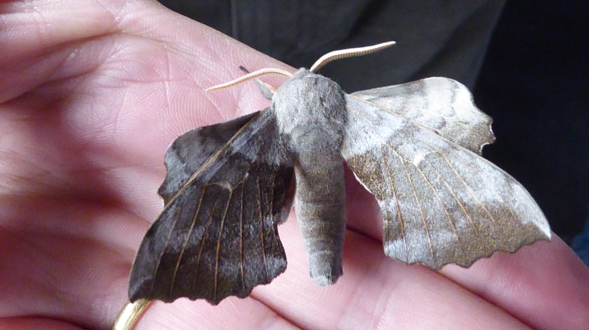 Moth Poplar Hawkmoth