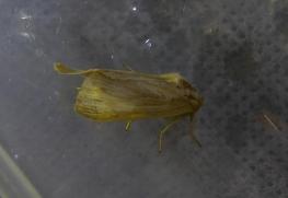 Moth silky wainscot