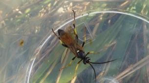 Wasp Ichneumon Amblyteles