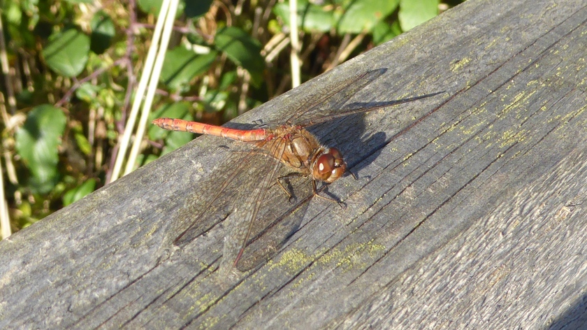 Common Darter 2