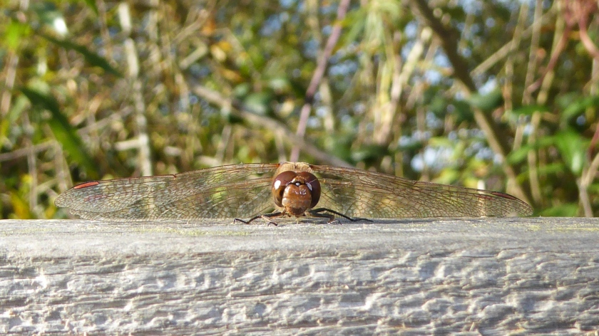Common Darter1
