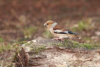 Hawfinch 1