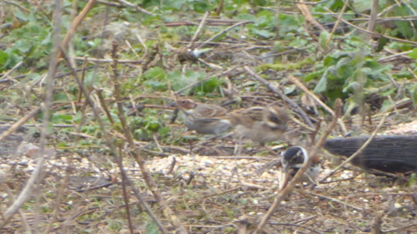 Little Bunting 2