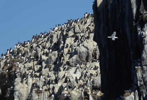 Kittiwake Cliff