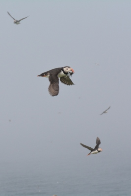 Puffins out of the mist
