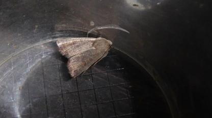 Moth B