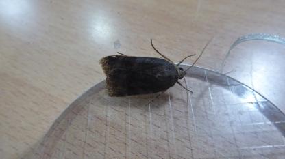 Moth C