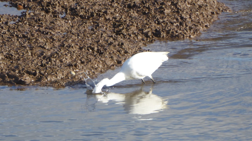 Little Egret Splash