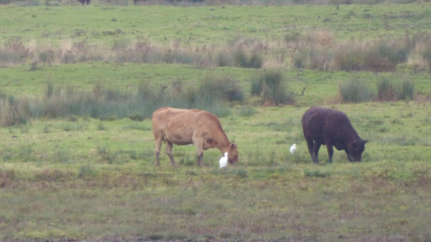 Two Cattle Egret