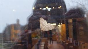 Moth A