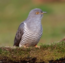 Cuckoo 2