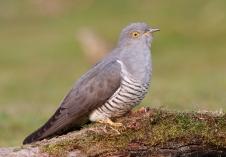 Cuckoo 3
