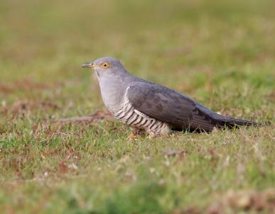 Cuckoo 4
