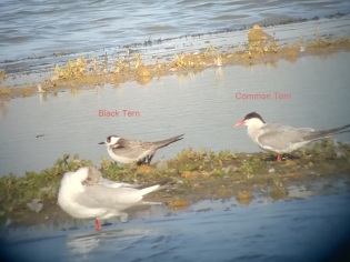 Black Tern Common Tern