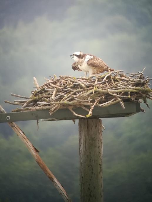 Opsrey Nest
