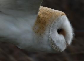 Barn Owl Head