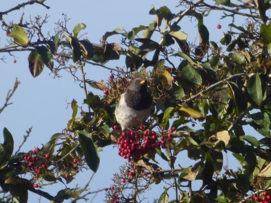 Black Throated Thrush