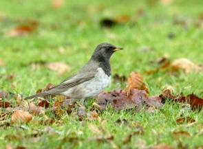 Black Throated Thrush