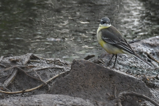 Eastern (Alaskan) Yellow Wagtail