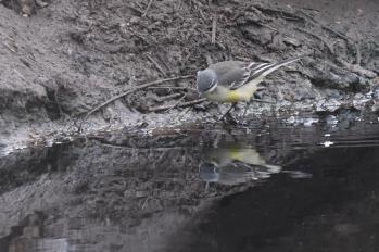 Eastern (Alaskan) Yellow Wagtail